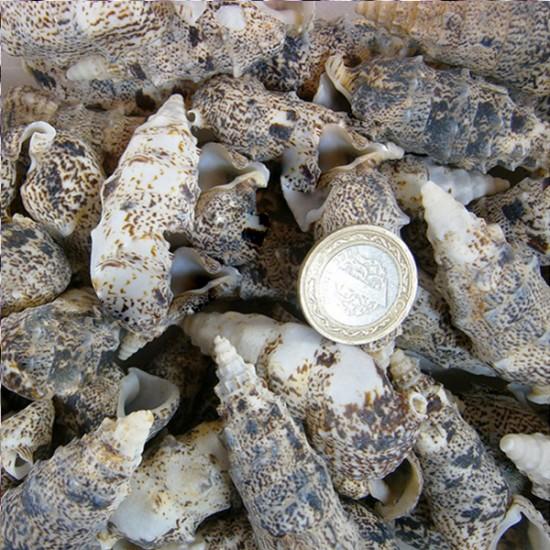 Cerıthıum Vulgatum Kiloluk Deniz Kabuğu (1 KG)
