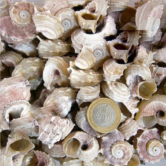 Angarıa Delpenola Kiloluk Deniz Kabuğu (1 KG)