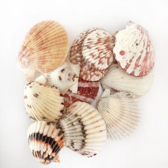 Naturel Pecten Radula Deniz Kabuğu (1 KG)