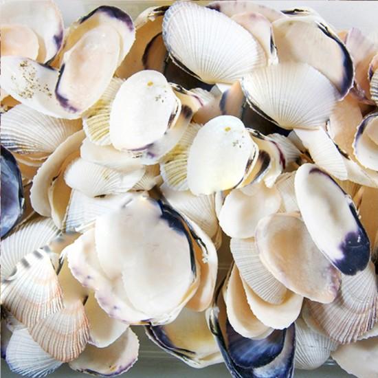 Asaphıs Vıolasceus (Baby Snopy) Kiloluk Deniz Kabuğu (1 KG)