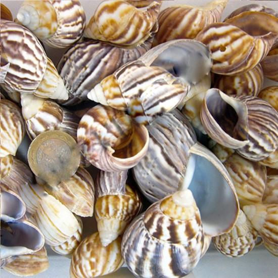 Babylonıa Kiloluk Deniz Kabuğu (1 KG)