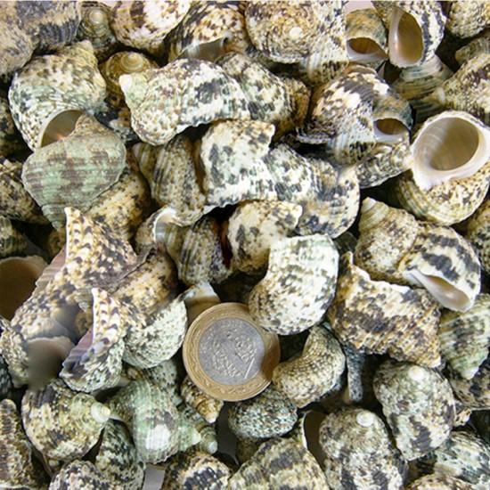 Bruneus Kiloluk Deniz Kabuğu (1 KG)