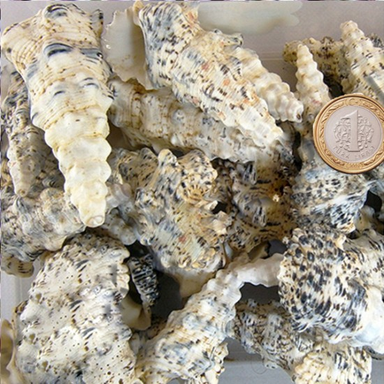 Cerıthıum Nodulosum Kiloluk Deniz Kabuğu (1 KG)