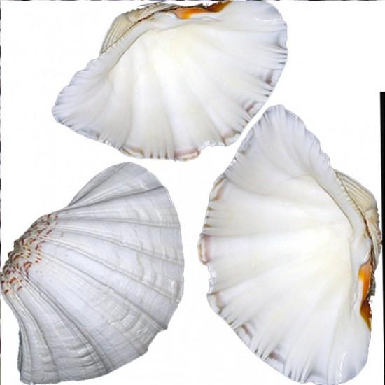 Chına Clam Kiloluk Deniz Kabuğu (1 KG)