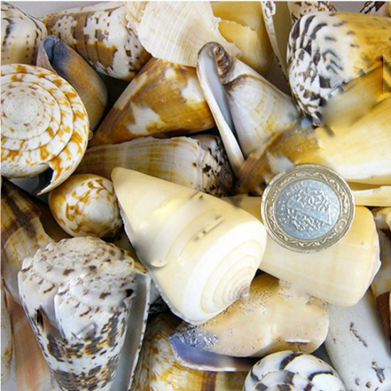 Conus Mıxed Kiloluk Deniz Kabuğu (1 KG)