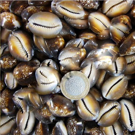 Cyprea Caputserpentis Kiloluk Deniz Kabuğu (1 KG)