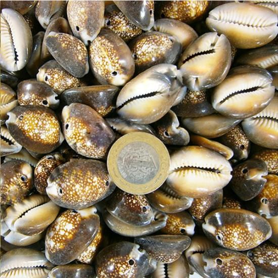 Cyprea Caputserpentıs Kiloluk Deniz Kabuğu - İki Delikli (1 KG)