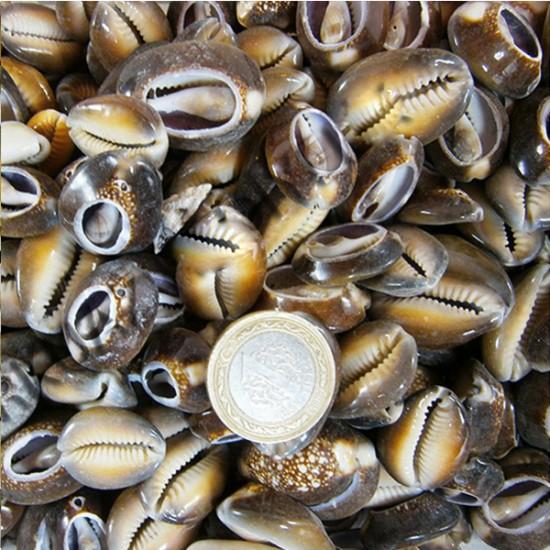 Cyprea Caputserpentis Kiloluk Deniz Kabuğu - Kesik (1 KG)