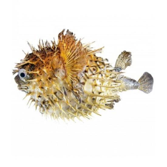 Dikenli Balık 4-5