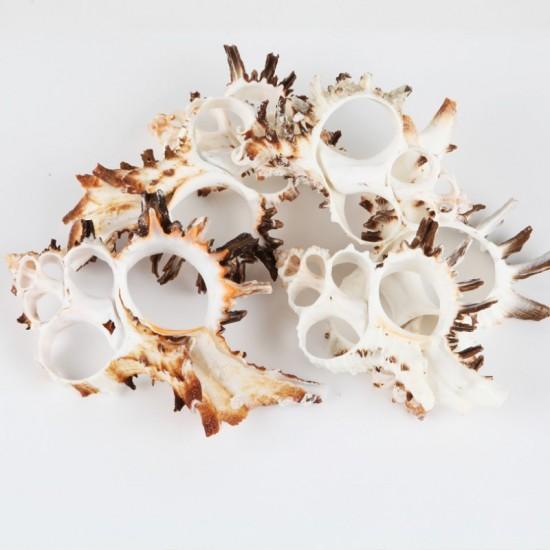 Kesik Murex Indıvıa Kiloluk Deniz Kabuğu (1 KG)