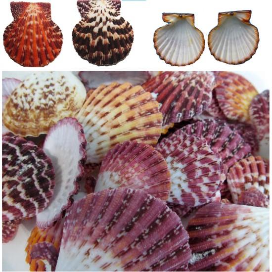 Pecten Phallıum Kiloluk Deniz Kabuğu (1 KG)