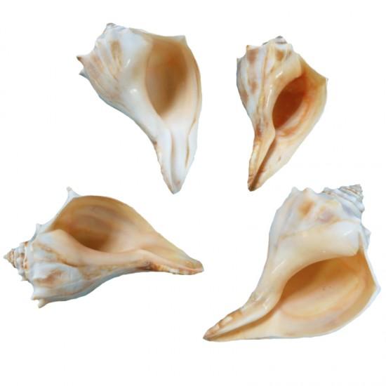 Polısh Orange Whelk