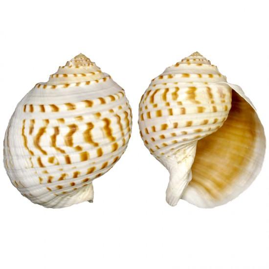 Tuna Tessellata  10-13 CM