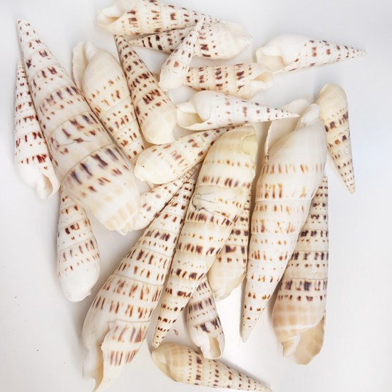 Terebra Maculata Kiloluk Deniz Kabuğu (1 KG)